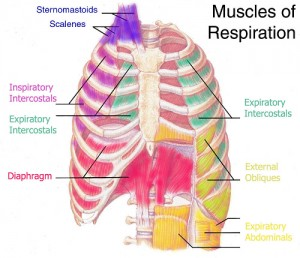 Muscle de la respiration {JPEG}
